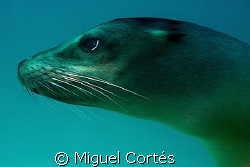 Seal Portrait by Miguel Cort&#233;s 